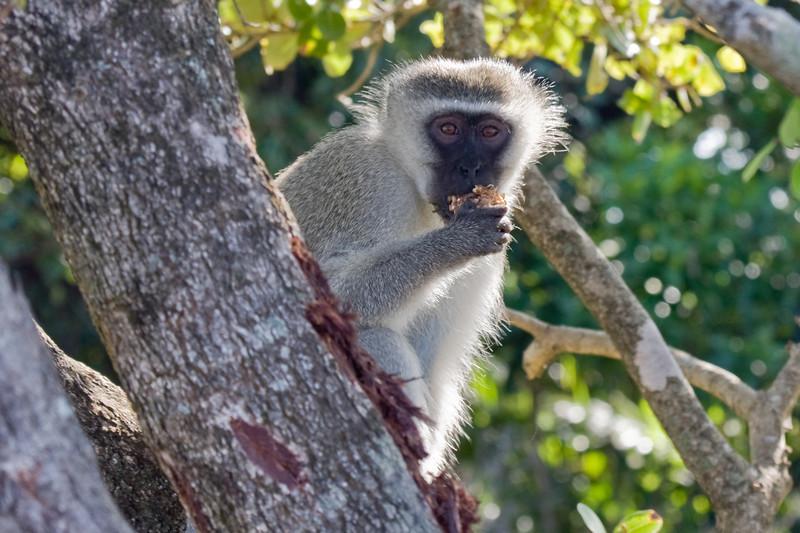iSimangaliso Wetland Park - Vervet Monkey having a snack
