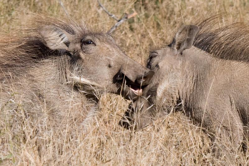 Imfolozi - Warthogs