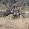 Imfolozi - Warthogs mating as the rest of the family looks on