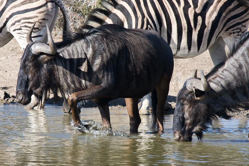 Imfolozi - Wildebeest