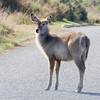 iSimangaliso Wetland Park - Waterbuck