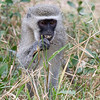 Mpila - Vervet monkey in our camp