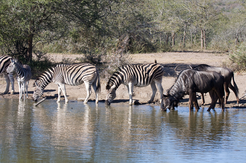 Imfolozi - Zebra and Wildebeest