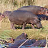 St Lucia - Hippos seen from the boardwalk
