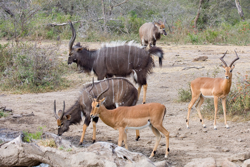 Imfolozi - Nyala and Impala at the watering hole