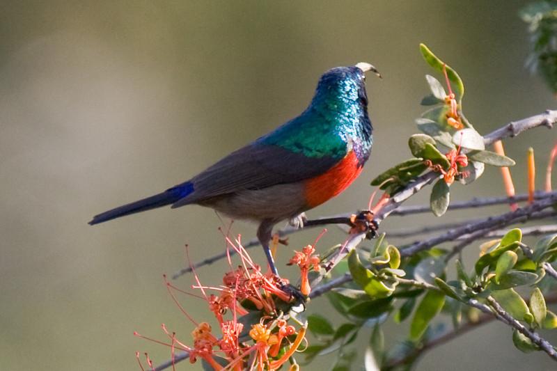 Addo - Sunbird
