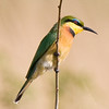 Hluhluwe - Little Bee Eater