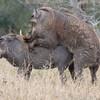 Imfolozi -Warthogs mating