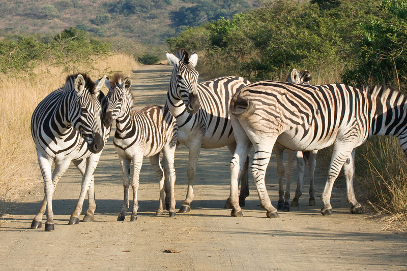Hluhluwe - Zebras with baby in the road
