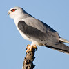 Addo - Black-shouldered Kite
