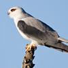 Addo - Black-shouldered Kite