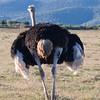 Addo - Ostrich