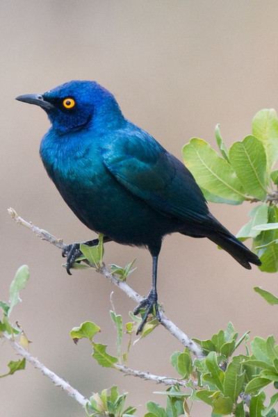 Imfolozi - Starling