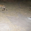 Mpila camp - Hyena making the rounds just outside our tent.  They will steal meat right off the braai (BBQ) if you aren't guarding it.
