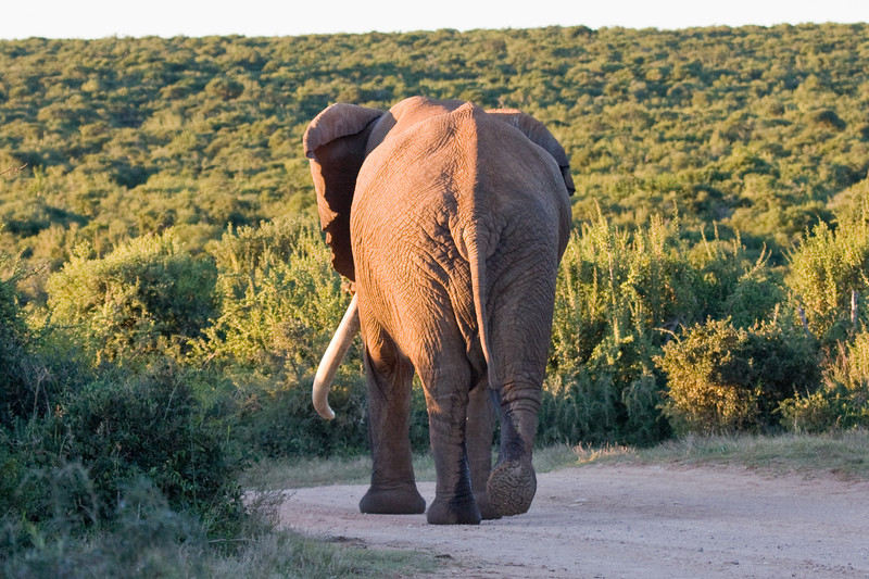 Addo - the biggest elephant we have ever seen blocked the road and made us late getting back to camp