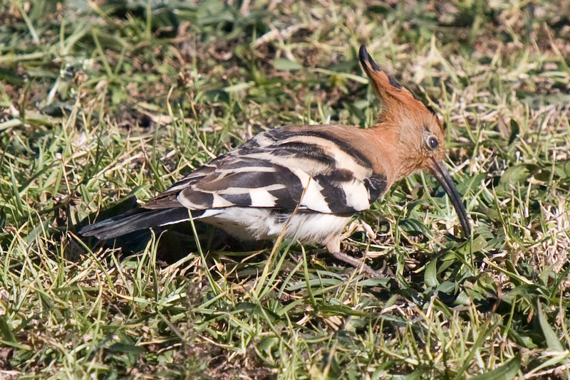 African Hoopoe right in front of our rondavel