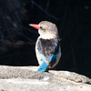 Imfolozi - Brown-hooded Kingfisher