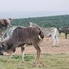 Addo - Kudu, Zebra, Elephant and Buffalo all share the watering hole