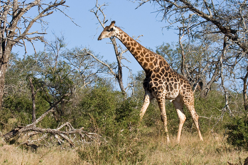Imfolozi - Giraffe