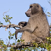 Imfolozi - Baboon keeping an eye on everything at the water hole