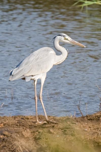 Hluhluwe - Grey Heron
