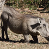 Mpila Camp - Warthog in camp