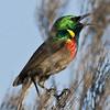 Hermanus - sunbird