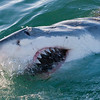 Great White Shark - he looks hungry !  Time to get in the cage !