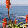 Hermanus - Aloe Plant
