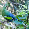 Wilderness - the elusive Knysna Turaco