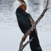 Wilderness - African Darter
