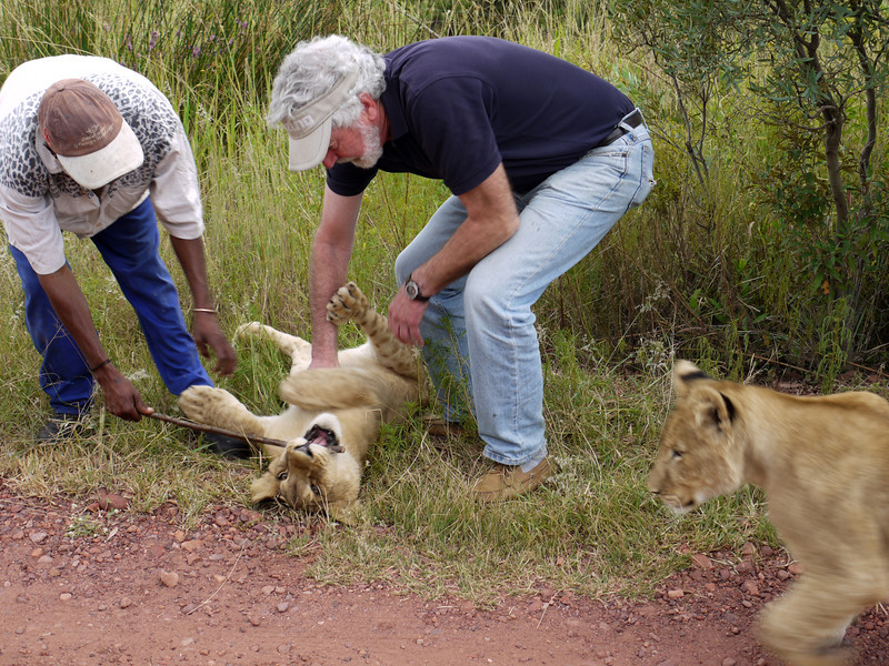 Peter rubs a six-month old cub's tummy while her sister approaches -- and the handler keeps her teeth busy.