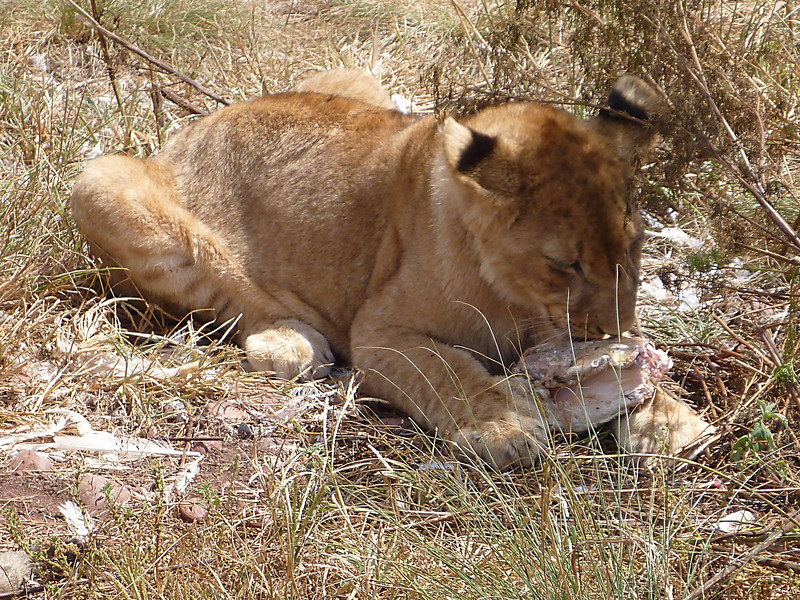 Lion cub holds her meat with her thumbnails.