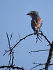 Lilac-breasted roller, perched atop an acacia tree.