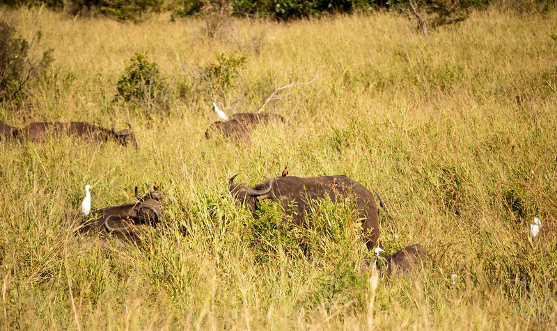 """The trick to finding the cape buffalo is to look for the cattle egrets.  Then you can see the oxpeckers on their backs.  These appear to be red-billed oxpeckers.  They feed on parasites, such as engorged ticks, presumably benefiting the buffalo, but they also consume blood directly, keeping the wounds open to more parasites.    Cape buffalo are considered the most dangerous of the """"big five"""" and have killed many hunters over the years.  ( I'm not all that fond of hunters, either.)"""