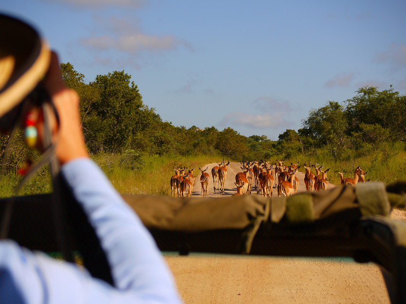 Safari vehicle following a herd of impala<br /> <br /> Kruger National Park