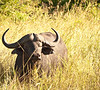 Cape buffalo.  A face only a mother could love. Hairdo, too.