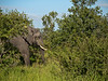 It's amazing how elephants can hide in the bushes.  But when you see a whole bush or tree shake, there's often an elephant working at it.<br /> <br /> Kruger National Park