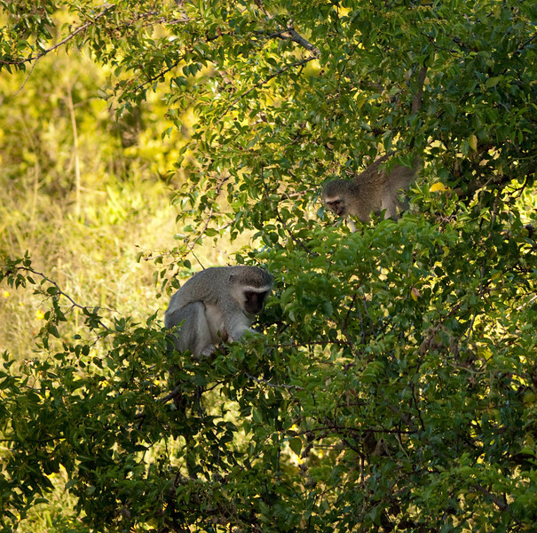 Vervet monkeys: mother and young.