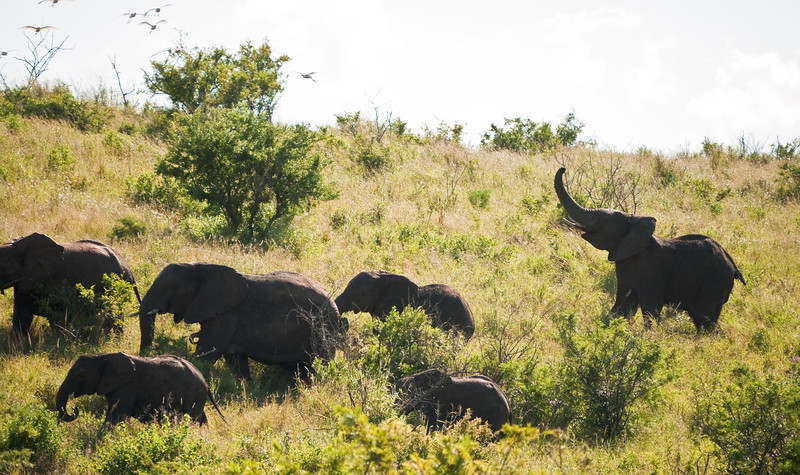 The matriarch elephant doesn't  like the egrets.  She chases them, bellowing, and swings her trunk to drive them away.  It eventually works.