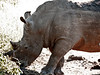 """Filthy rhino.  Clearly he likes it that way.<br /> A thought: if he's a mammal, where's his hair?  Only in his horns?  <br /> Here's an answer --     <a href=""""http://en.wikipedia.org/wiki/Rhinoceros"""">http://en.wikipedia.org/wiki/Rhinoceros</a>"""