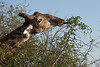 Those tough blue tongues strip the leaves from the branches.  <br /> <br /> Giraffe at Kruger National Park