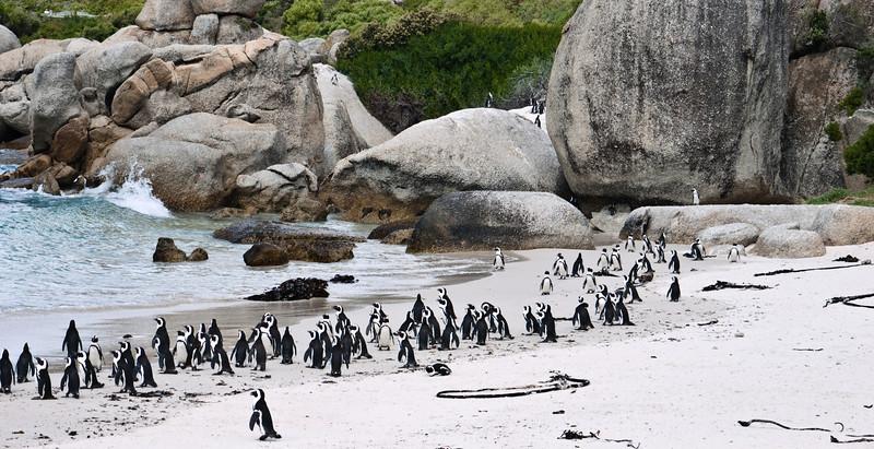 African Penguins at Boulder Beach.