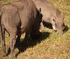 Warthogs, wandering around grazing and grunting, like pigs do.