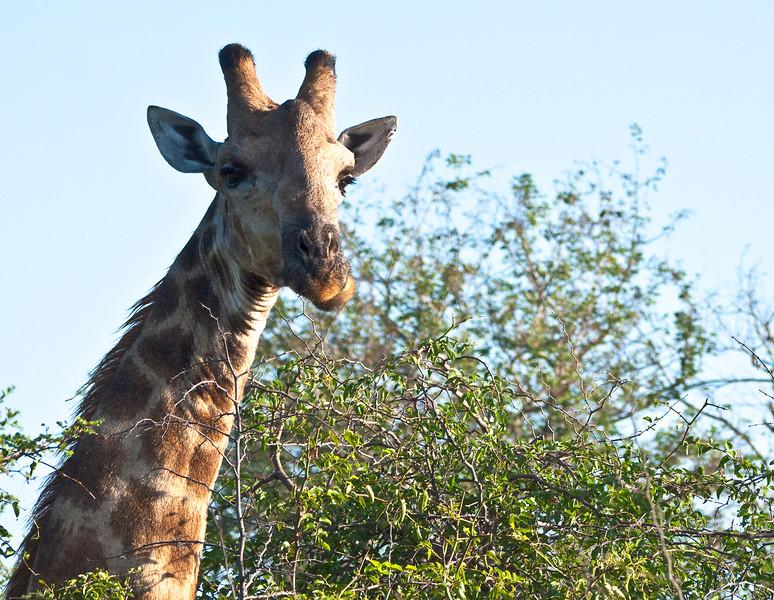 Giraffe chewing leaves, side to side.<br /> <br /> Kruger National Park