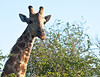 Giraffe chewing leaves, side to side.<br /> <br /> Kruger National Park