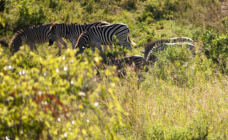Plains zebra have three colors of stripes.