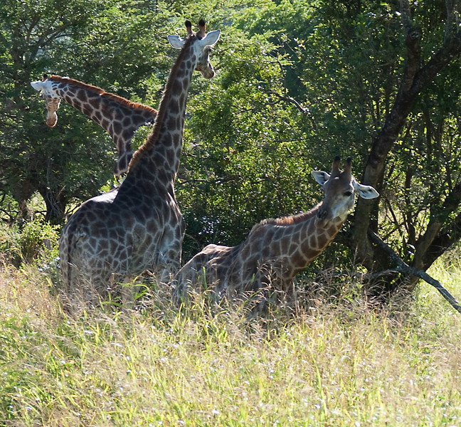 These giraffe look alert, looking in all directions ... except toward us, in that big noisy vehicle on the dirt road ten feet away.