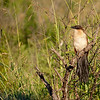 This bird seems to have forgotten to comb his tail today.  Hluhluwe Reserve