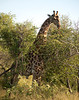 Giraffe.  You have to be tall to get those top branches.<br /> <br /> Kruger National Park